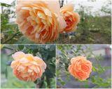 15 giống hoa hồng leo quốc tế được ưa chuộng tại Việt Nam