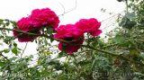 Top 8 loài hoa hồng ngoại có hương thơm nổi bật nhất