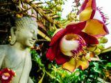 Cây sala - cây vô ưu, cây hoa quý linh thiêng nơi cửa phật