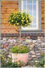 Cúc thân gỗ loài hoa đẹp lạ cứng cỏi phong trần