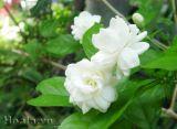 Tổng hợp những giống hoa thơm truyền thống của người Việt