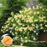 Chiêm ngưỡng những khu vườn hoa hồng vàng đẹp nhất thế giới