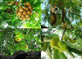 15 loại cây ăn quả truyền thống của người Việt