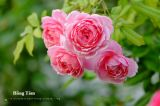 Cách trồng và chăm sóc cho cây hoa hồng leo nhung bông lớn, hồng phấn leo bông to nở hoa
