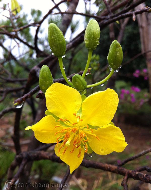 Hoa Mai vàng Yên Tử