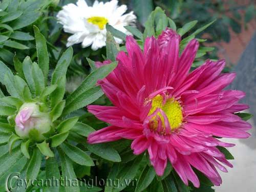 Cây hoa cúc thúy - cúc magic