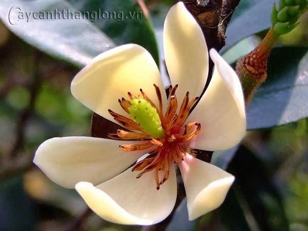 Hoa mộc lan