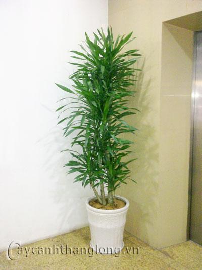 Cây Thanh lan