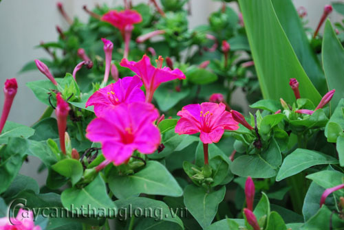 Cây hoa Bông phấn