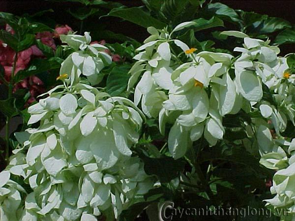 Hoa Én bạc - Bướm bạc