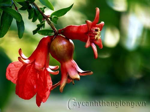Hoa Lựu