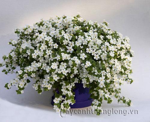 Hoa Bông tuyết