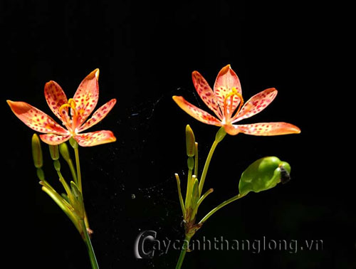 Hoa rẻ quạt (xạ can)