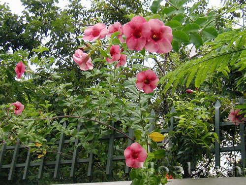 Cây Hoa Hồng anh bụi