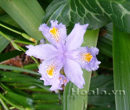 Hoa Diên vĩ nhiệt đới