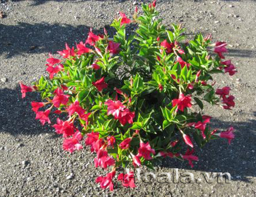 Cây giống hoa Trang đài