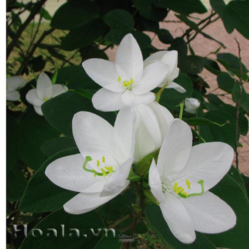 Hoa ban trắng cánh tròn