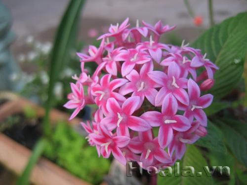 Cây hoa Diễm châu
