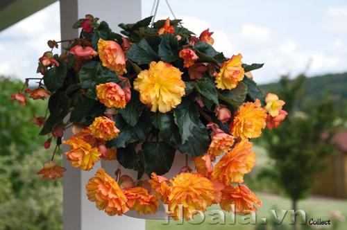 Cây hoa Thu hải đường buông rủ