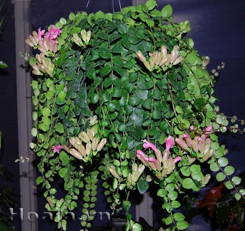 Hoa son môi
