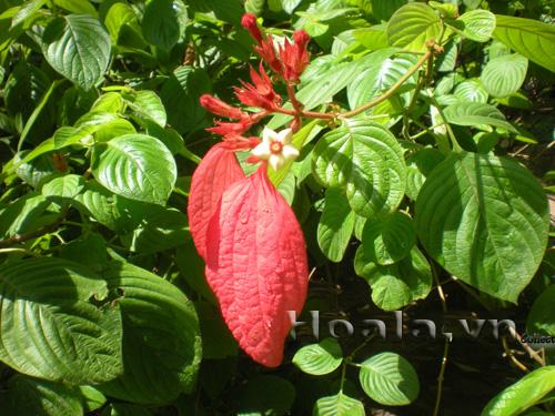 Hoa bướm đỏ (én đỏ)