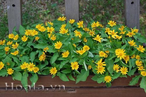 Hoa Cúc mặt trời - Cúc khuy