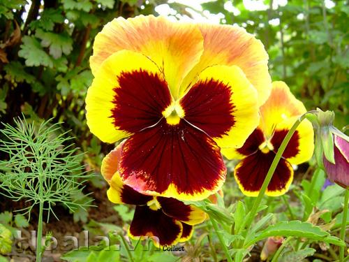 Hoa Păng xê - hoa bướm