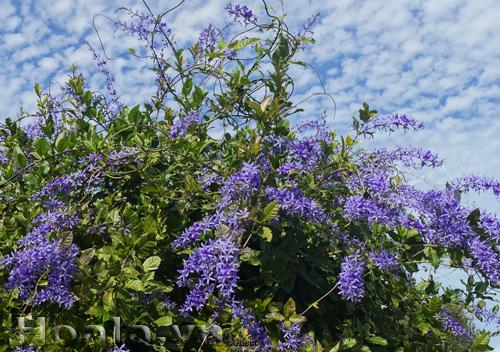Cây Hoa Mai xanh