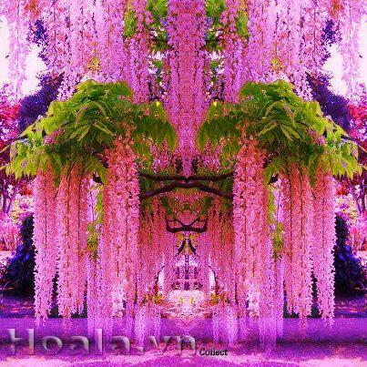 Hoa Tử Đằng ( hoa Đậu tía)