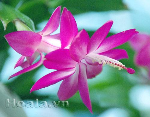 Hoa Càng cua