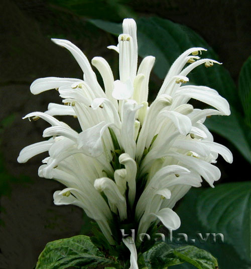 Cây Hoa Hồng long ngọc