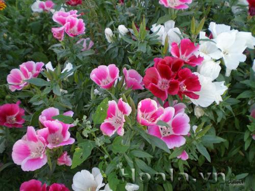 Cây Hoa Hồng xuân