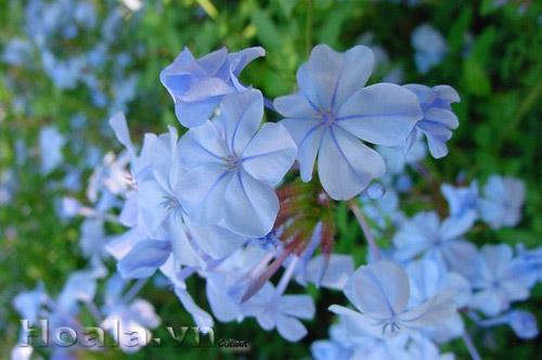 Hoa Thanh xà, hoa bạch xà
