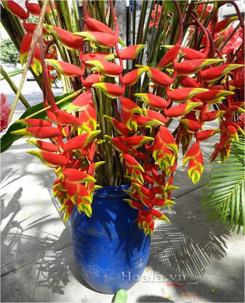 Hoa Chuối tràng pháo