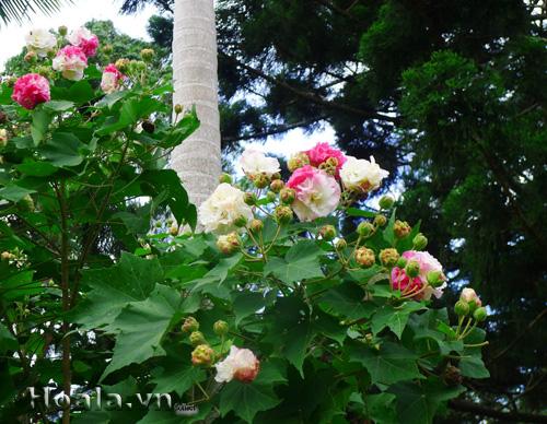 Hoa phù dung