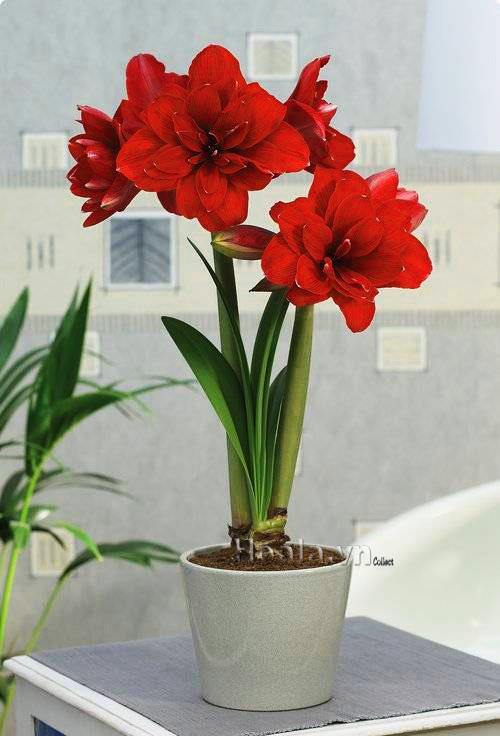 Hoa loa kèn - huệ tây