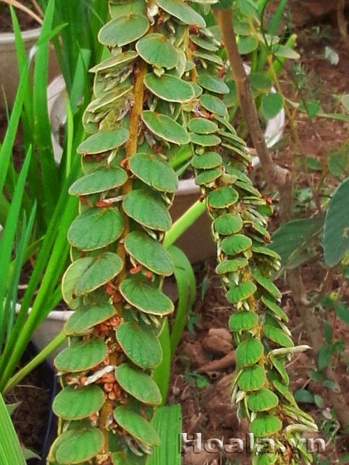 Cây tràng bạc - cây mang lộc vào nhà