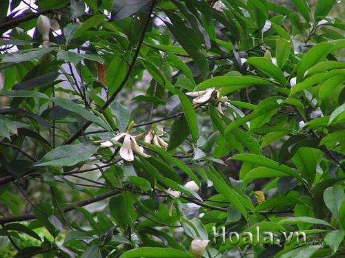 Hoa mộc lan trắng