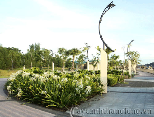 Cây Bạch Trinh Biển