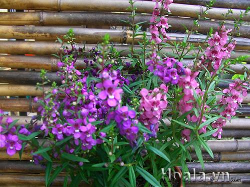 Cây hoa ngọc hân - hoa bâng khuâng