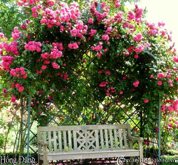Hoa hồng leo Hồng Đăng 36