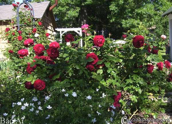 Hoa hồng leo Bảo Ái 50