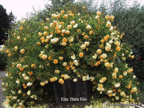 Hoa hồng leo Kim Thiên Bảo 58