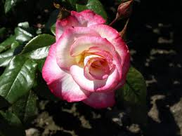 Hoa hồng leo Kiều An 65
