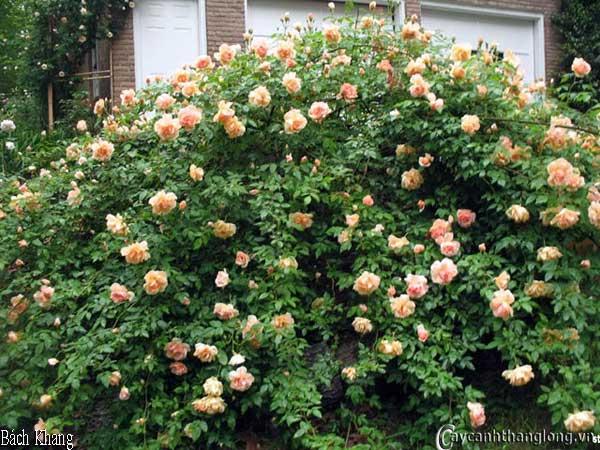 Hoa hồng leo Bách Khang 66