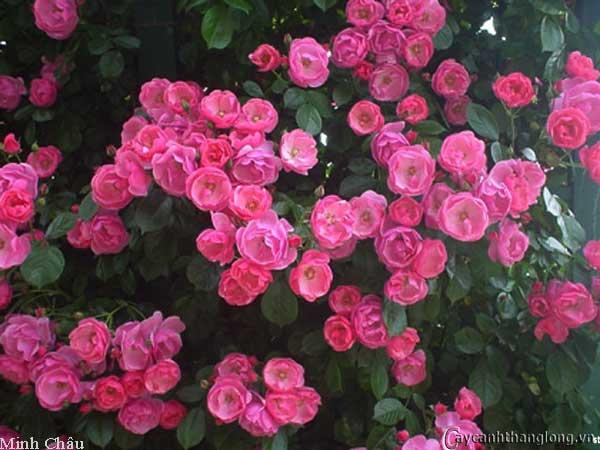 Hoa hồng leo Minh Châu 75