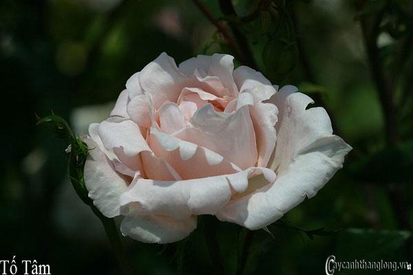 Hoa hồng leo Tố Tâm 83