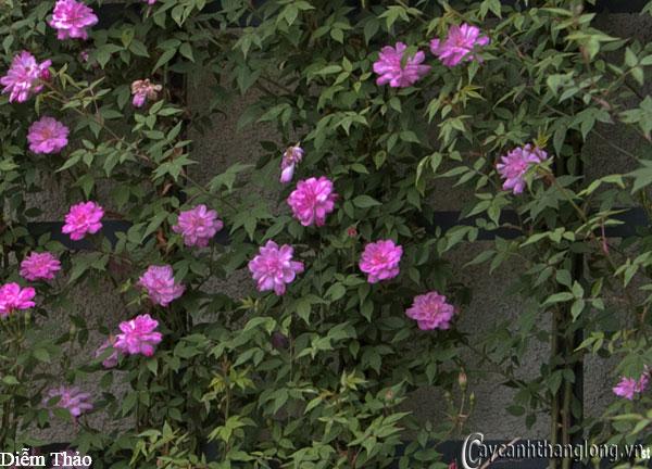 Hoa hồng leo Diễm Thảo 91