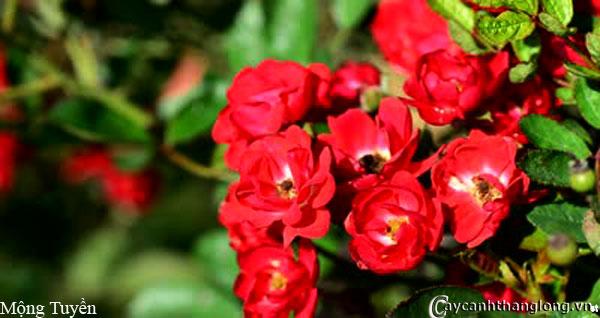 Hoa hồng leo Mộng Tuyền 96