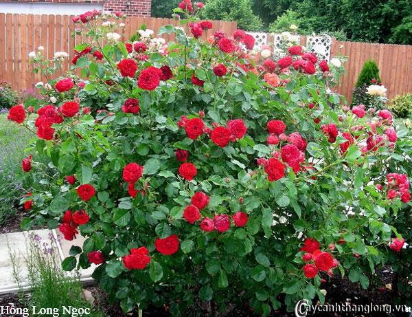 Hoa hồng leo Hồng Long Ngọc 97
